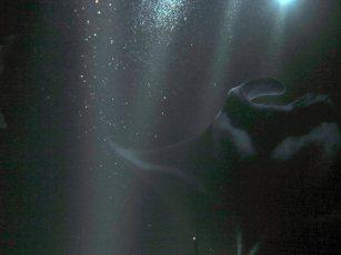 Manta Ray Dive (Kona, Hawaii) - Photo credit: Hawaii Oceanic