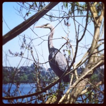 Great Blue Heron at Greenlake, Seattle, WA
