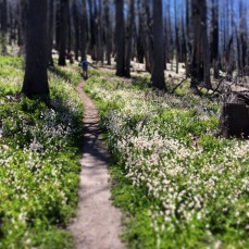 Avalanche tulips blanketed the way to Cairin Basin (Mt. Hood, OR)