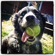 Sadly, my family bid adieu to our beloved Aussie-Border Collie mix, Delilah. You will be greatly missed, Miss D.